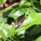 Butterfly in Fiji by Bami