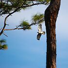 Red Shouldered Hawk Fly By by Shane Jones