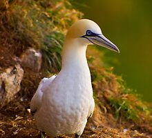 Northern Gannet (Morus bassanus) sitting on cliff by Gabor Pozsgai