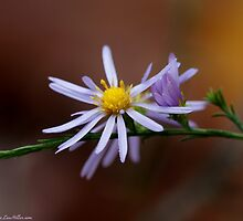 Purple Aster Cradled Birth  by Lee Hiller