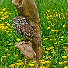 Willow (little Owl) by Elaine123