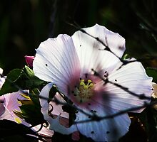 Wild Rose Mallow... by Poete100