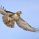 Red-tailed Hawk 3  - Ontario, Canada by Raymond J Barlow