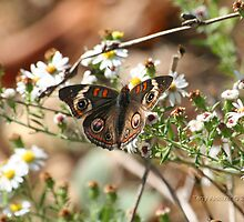 Beautiful Common Buckeye Butterfly by Terry Aldhizer