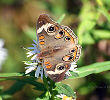 Common Buckeye Butterfly Number 2,346 :.^P by Terry Aldhizer