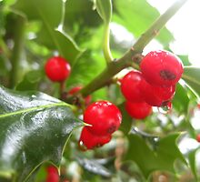 Holly berries by Rainydayphotos