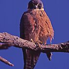Hobby Falcon, western Queensland by Robert Ashdown
