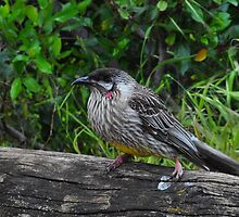 Red Wattle Bird (Anthochaera carunculata) by Geoff Beck