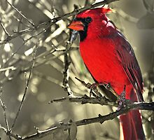 Male Cardinal by Barbara Manis