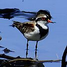 Black -fronted Dotterel by Rick Playle