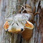 Cicada hatching by nataliewinter