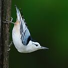 White-breasted Nuthatch - Ontario Canada by Raymond J Barlow