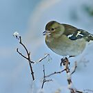 the icy perch, finch, The Rower, County Kilkenny, Ireland by Andrew Jones