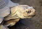 Sulcata Tortoise by Michael  Moss