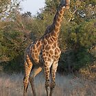 Giraffe watching by Sara Friedman
