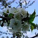 Apple Blossom Glory by CA Almeida