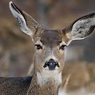 Mule Deer Listening Intently by algill