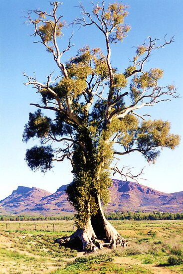 The Spirit of Endurance, The Cazneaux Tree by Michael Vickery