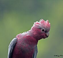 Young Galah by WendyJC