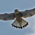 Kestrel in flight by pamtrezise