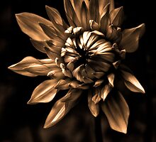 Dahlia in Sepia by alan shapiro