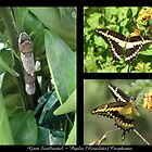 Butterfly Collage ~ Giant Swallowtail by Kimberly P-Chadwick