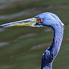 Tri-colored(Louisiana) heron up close by jozi1