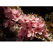 lichen ornamental cherry blossoms Photographic Print