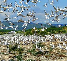 Flying Chaos! - Seagull Colony - NZ by AndreaEL