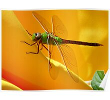 Majestic Green Darner Dragonfly Poster
