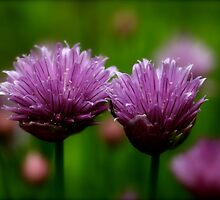 Chive Blossoms by Renee Blake
