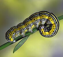 Caterpillar by jimmy hoffman