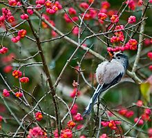 long tailed tit by jaffa