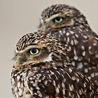 Burrowing Owl (Athene cunicularia) by Steve  Liptrot