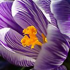 Spring Crocus by John Behrends