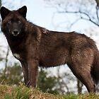 Mackenzie Wolf by nigelphoto