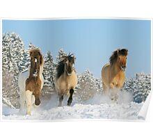 Three Icelandic horses in winter Poster