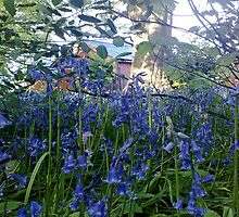 Bluebells woodland walk - Sewerby Hall  by Merice  Ewart-Marshall - LFA