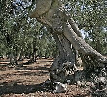 The Old Olive Tree - Puglia, Italy by Debbie Pinard