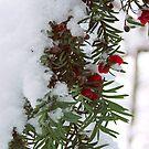 Snowy Berries by Mel Preston