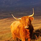 Highland Cattle  by naturalnomad