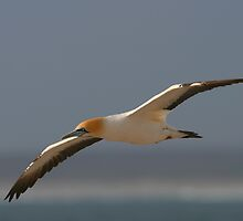 Cape Gannet by naturalnomad