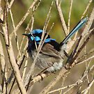 Superb Fairywren (Malurus cyaneus) by Dan &amp; Emma Monceaux