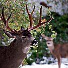 Yosemite Buck by Ken Scarboro