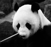 Wang Wang the panda, close up by Elana Bailey