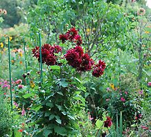 Red dahlias,Monet's garden, Giverny,September 2010. by lynneriley
