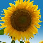 sunflower against blue sky by mike2048