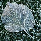 Frosty Leaf by John Gaffen