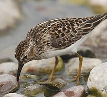 The Foraging Least Sandpiper by DigitallyStill