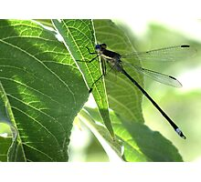 Damselfly ~Great Spreadwing (Male) Photographic Print